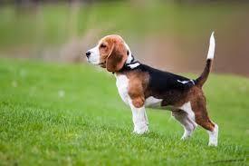Дружествено състезание за полеви изпитания на ловни кучета в гатер  1